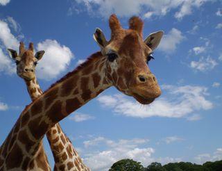 BlackpoolZooGiraffe390x300